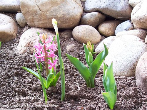 Hyacinth pic_edited-1